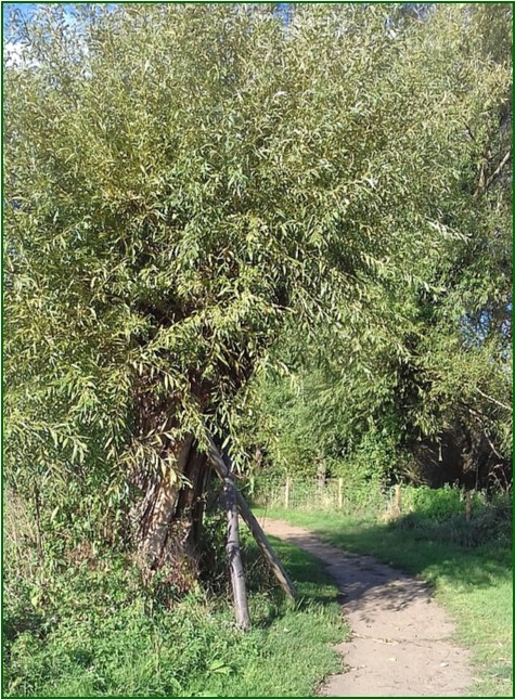 1 Willow Tree