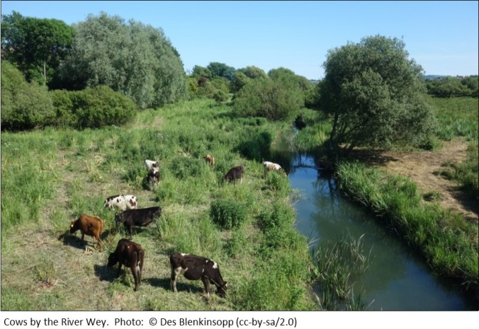 Cows by the River Wey