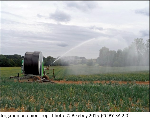 Irrigating onion crop