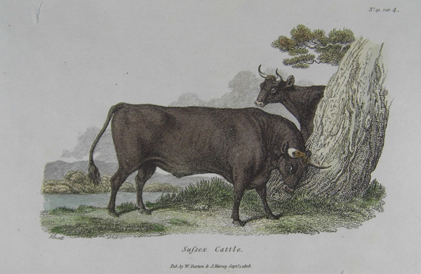 sussex Cattle 3