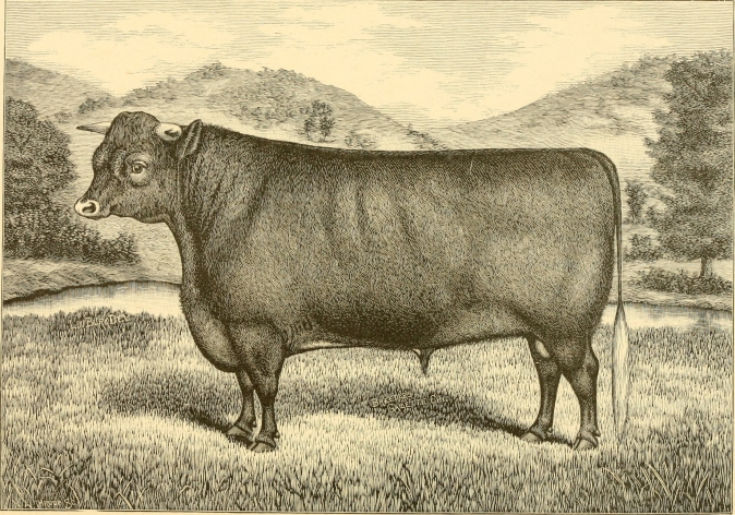 sussex Cattle 7