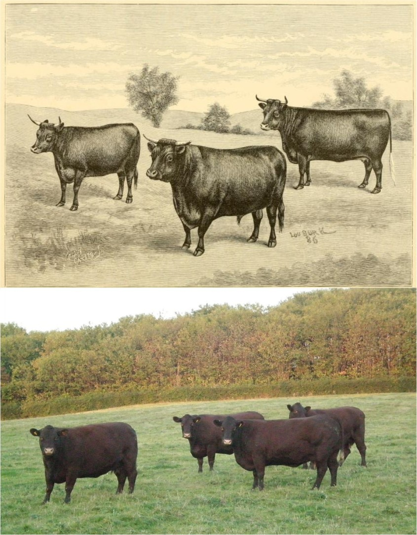 sussex Cattle 9