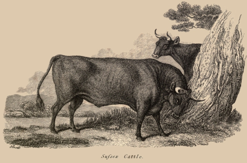 sussex Cattle2
