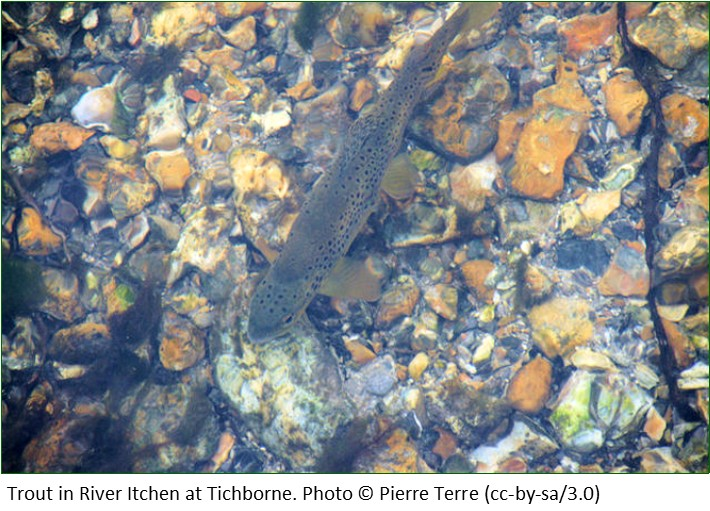 Trout in River Itchen at Tichborne