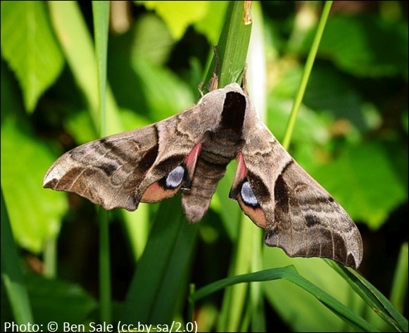Eyed Hawk Moth