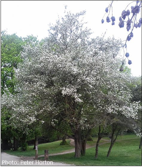 Malus in Bloom