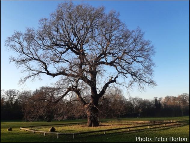 Belair Park Oak