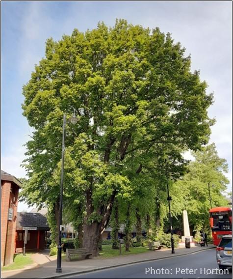 Westow Street Oak
